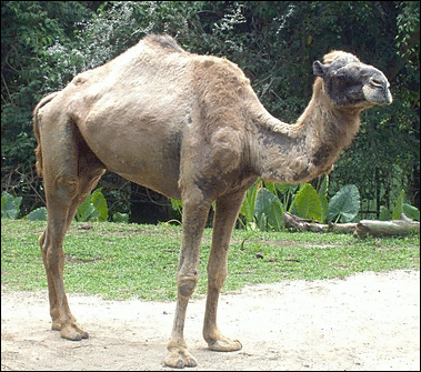 Camel_in_Singapore_Zoo