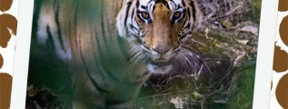 India and the Bengal Tiger Safari Notebooking Page