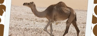 Dromedary Camel Notebooking Page