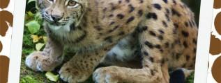 Eurasian Lynx and Iraq Notebooking Safari