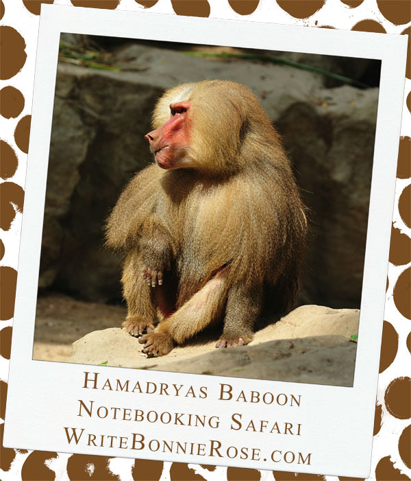 Hamadryas Baboon and Yemen Notebooking Safari