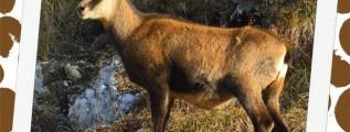 Chamois safari notebooking page