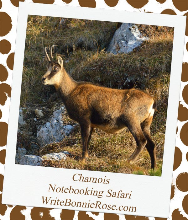 Chamois safari notebooking page